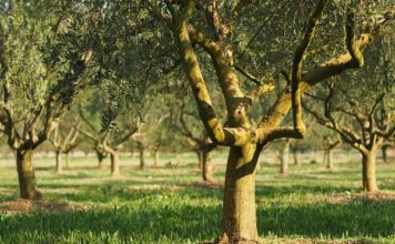 Economia agricola italiana, margini di profitto 2016 in calo, produzioni olivicole in picchiata